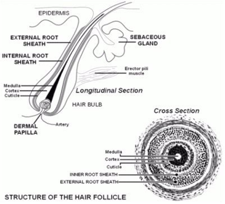 hair follicle seated within the skin is called a hair bulb. The hair ...